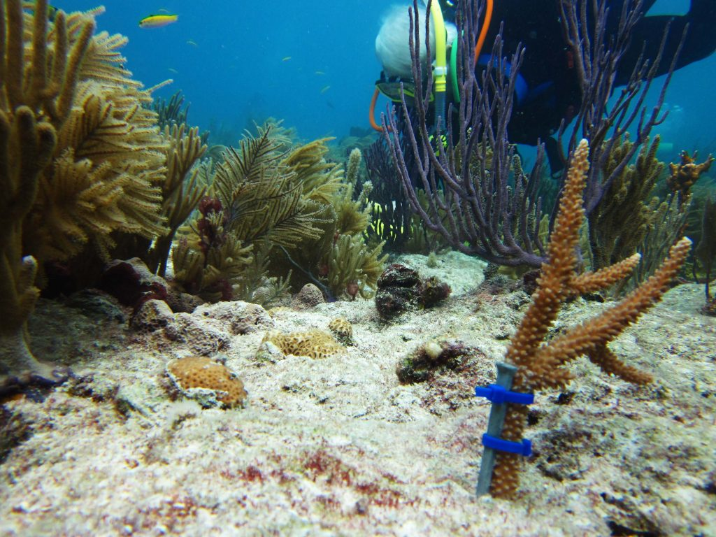A nursery-raised staghorn coral outplanted onto a reef in Miami-Dade County by a citizen scientist. Photo Credit: Dalton Hesley