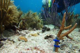 NOAA Funds UM Coral Restoration Research