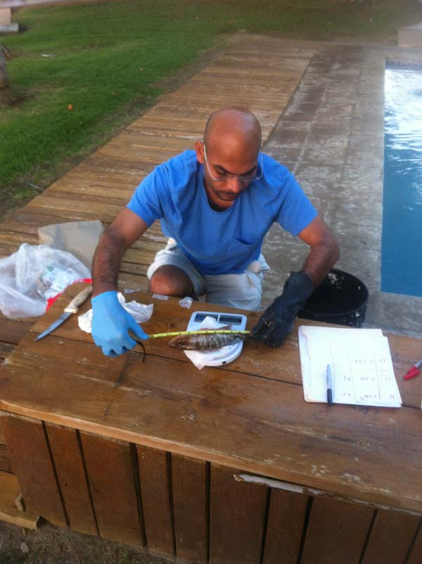 Naresh Kumar, lead investigator in the study and UM associate professor, measures and run tests on a fish taken from Guanica Bay.